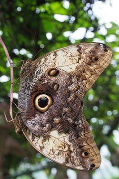 Papillons hibous ( Café Doka Estate. Costa Rica)