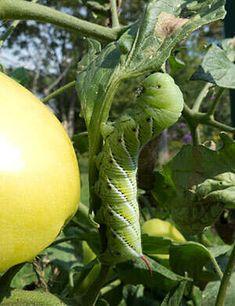 Troubleshooting Tomato Problems, Tomato Pests | Gardener's Supply Tomato Bugs, Tomato Garden, Growing Tomatoes, Growing Plants, Baby Tomatoes, Green Tomatoes, Garden Bugs, Garden Planters, Tomato Plant Diseases