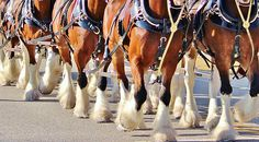 Horse Poster featuring the photograph Clydesdale Horses Walking by Cynthia Guinn Photography Sites, Photography For Sale, Clydesdale Horses Budweiser, Horse Posters, Thing 1, Walking By, All Poster, Equestrian, Fine Art America