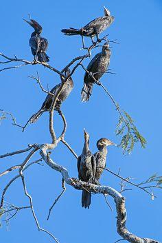 Many cormorants on a branch | by Tambako the Jaguar