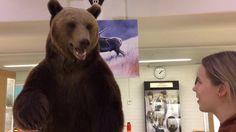 Oulun yliopiston eläinmuseon viimeisen päivän tunnelmia Brown Bear, Finland, Animals, Animales, Animaux, Animal, Animais
