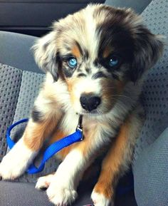 Golden/Husky Mix... absolutely beautiful   ...........click here to find out more     http://googydog.com
