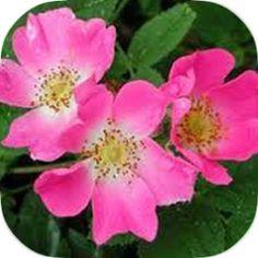 olio di rosa canina VOM FASS