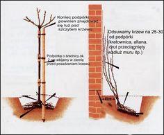 Róża pnąca T 10 -dorasta do 5 metrów - 4005870859 - oficjalne archiwum allegro