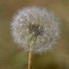 dandelion puff.jpg (7044 bytes)
