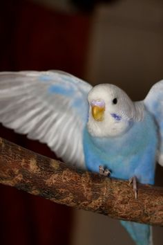 Cute Budgie HQ Quality (65 Photos) Budgie Pictures