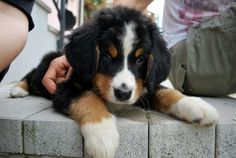 • Cleopatra - Bernese mountain dog - first day at home