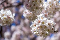 https://flic.kr/p/oGGX3B | Cherry Blossoms