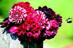 Flowers. Bloemen. Dahlia