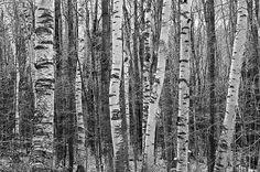 Birch Stand Canvas Print / Canvas Art By Ron Kochanowski - Www. Framed Artwork, Wall Art Prints, Framed Prints, Canvas Prints, Art Sites, Large Art, Unique Art, Find Art, Fine Art America