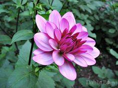 Lauren Michele   Dahlia Barn Growing Dahlias, Zinnias, Beautiful Flowers, Wine, Barn, Plants, Adventure, Google Search, Awesome