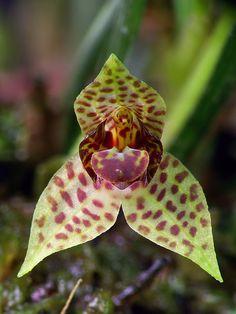 Dryadella guatemalensis