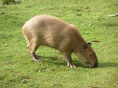 Capybaras - Giant Rodents of South America