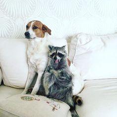 Hey Toffee want to hear the most annoying sound in the world? #pumpkintheraccoon #raccoon #raccoonsofinstagram #weeklyfluff #dog #dogsofinstagram #instagood #instagram #instadaily #pet #love #photooftheday #pumpkintheraccoon