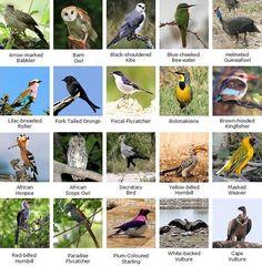 wild birds names list కోసం చిత్ర ఫలితం Birds Name List, Birds For Kids, African Holidays, Wild Birds Unlimited, Bird Identification, Kruger National Park, Game Reserve, Top Of The World, Kingfisher