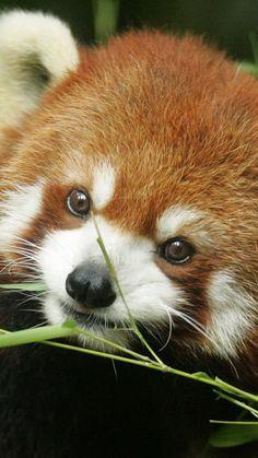 red panda, grass, face, animal