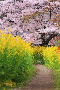 #Kyoto  #Japan #sakura