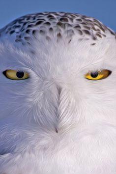 Snowy Owl. °