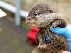 New Otter pup from the Perth Zoo!