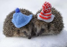 hats for hedgehogs!