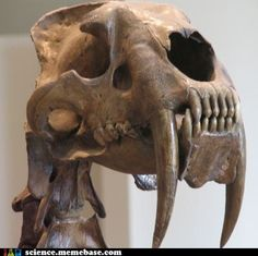 Fossil Skull of Sabertooth Cat Animal Skeletons, Animal Skulls, Reptiles, Mammals, Tiger Pictures, Tiger Skull, Dinosaur Fossils, Extinct Animals, Prehistoric Creatures