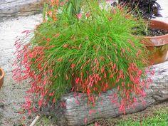 Russelia vermelha - Varanda Superior