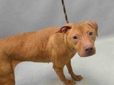 RETURNED AGAIN 10/10/16 STRAY!! SHAME ON YOU OWNER!! SUPER URGENT BROOKLYN CENTER- RTO SAFE!!!!!! 5/13/16 RETURNED!!! Brooklyn Center DIVA – A0889495 **RETURNED 05/08/16** I am a spayed female, brown Pit Bull Terrier and Vizsla. The shelter staff think I am about 9 years old. I weigh 40 pounds. I was found in NY 11234. I have been at the shelter since May 08, 2016. Urgent Pets on Death Row, Inc