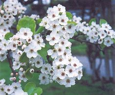 Callery Pear, another great plant for low-maintenance gardening from the new book 'Gardening from a Hammock,' available at 'www.gardeningfromahammock.com'.