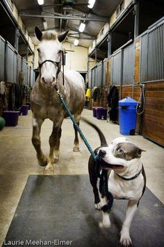 You can lead a horse to water with a pit bull. ♥ SEE! Even a horse (a prey animal) knows that pit bulls can be trusted. This photo adequately speaks to both my loves! :)
