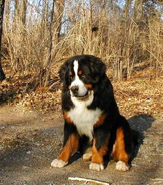 Bernese Mountain Dog. Would LOVE to be able to have one of these. Maybe in another life