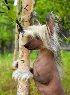 oy... Chinese Crested