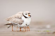 Piping Plover (and chicks)