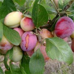 Italian Nursery sale online Plum Trees in pot. Victoria Plum, Plum Fruit, Plum Tree, Tropical Fruits, Delicious Fruit, Fruit Garden, Back Gardens, Fruit Trees, Beautiful Gardens