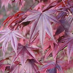 Acer palmatum Bloodgood | Japanese maple