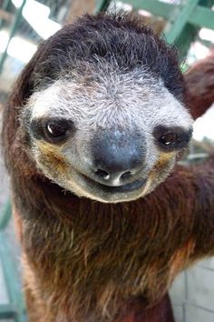 a9d0e2dfc120e 341 Best SLOTHS images in 2017 | Sloth, Sloths, Baby sloth