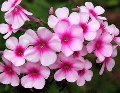 garden phlox   Perennial, multiply fast, ground cover, great in vases (trimming them helps them to bloom repeatedly)