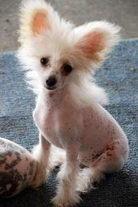 female chinese crested Cotton