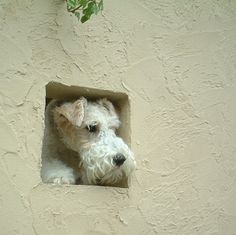 Did somebody purposely leave that whole in the wall Fox Terriers, Perro Fox Terrier, Wirehaired Fox Terrier, Wire Fox Terrier, Airedale Terrier, Terrier Dogs, Dog Photos, Dog Pictures, I Love Dogs