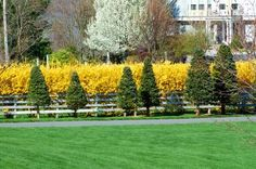 A forsythia hedge (image) is set off by evergreens. It's a striking driveway planting. - David Beaulieu