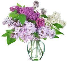 Tube de lilas pour vos créations