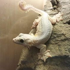 Leucistic flying gecko, now everybody is going to jump on the bandwagon and actually give these guys the attention they deserve all because they are now creating morphs. Sad fact of the hobby. People turn their noses up at animals in their natural beautiful form, but once they create morphs, everybody all the sudden loves them, and it disgusts me. Flying geckos are beautiful naturally, and this leucistic is mind-blowing.