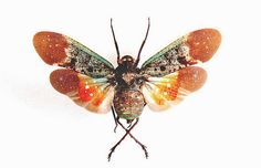 OVERSTOCK: spread Penthicodes farinosa tulia by InsectArt on Etsy (Craft Supplies & Tools, insect, bug, entomology, geekery, unmounted, real, museum, nature, science, dead, cicada, spread, orange)