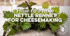 How To Make Nettle Rennet For Cheesemaking