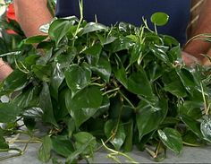 Heart Leaf Philodendron - Top 10 NASA Approved Houseplants for Improving Indoor Air Quality