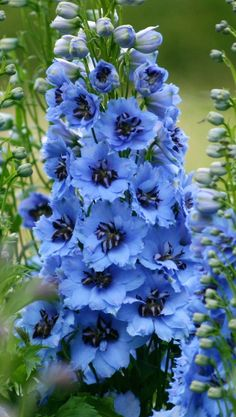 Moonlight Blue Delphinium Seeds and Plants, Flowers at All Flowers, Growing Flowers, Planting Flowers, Beautiful Flowers, Purple Flowers, Planting Plants, Exotic Flowers, Flowers Garden, Yellow Roses