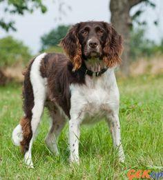 Heidewachtel   GEKop hondenrassen - encyclopedie