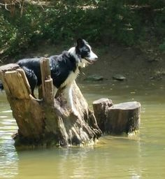 border collie life guard at Red River Border Collies in Gainesville Tx