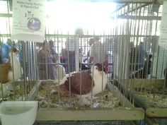 Pigeon in festival