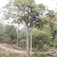 Recuerdas el nombre de este árbol?  #Jaraguenses en #LomaLosGuineos