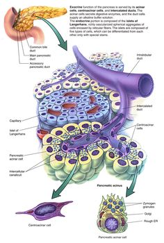 Pancreas function and diabetes